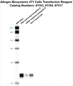 4T1-cells-transfection-protocol
