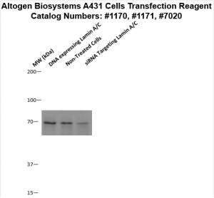 A431-cells-transfection-protocol
