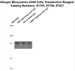 A549-cells-transfection-protocol