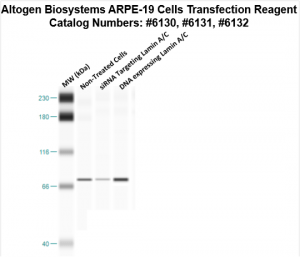 ARPE19-cells-transfection-protocol