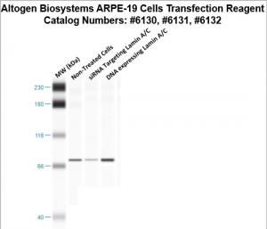 ARPE19-cells-transfection-protocol