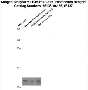 B16F10-cells-transfection-protocol