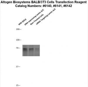 BALB3T3-cells-transfection-protocol