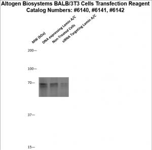 BALB3T3-cells-transfection-protocol