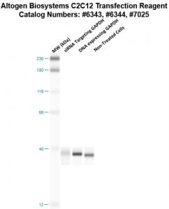 C2C12-cells-transfection-protocol