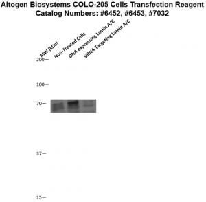 Colo205-cells-transfection-protocol