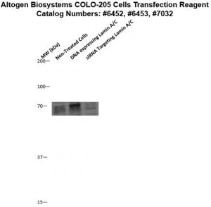 Colo205-cells-transfection-protocol