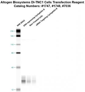 DITNC1-cells-transfection-protocol