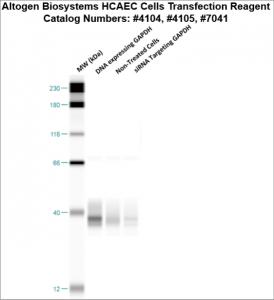 HCAEC-cells-transfection-protocol