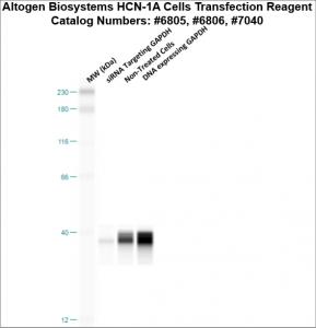 HCN1A-cells-transfection-protocol