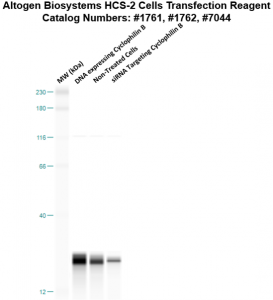 HCS2-cells-transfection-protocol
