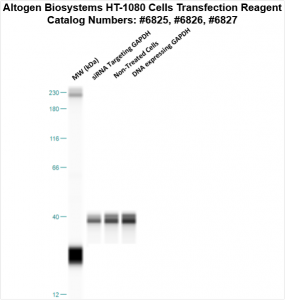 HT1080-cells-transfection-protocol