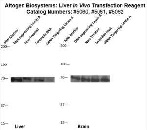 Liver-Targeted-Transfection-Altogen-Catalog-5062-1