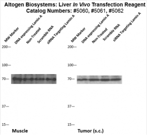Liver-Targeted-Transfection-Altogen-Catalog-5062-2