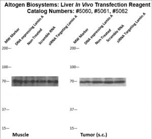Liver-Targeted-Transfection-Altogen-Catalog-5062-2