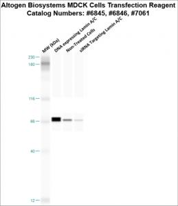 MDCK-cells-transfection-protocol