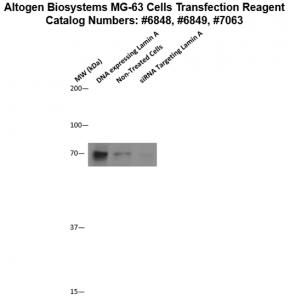 MG63-cells-transfection-protocol