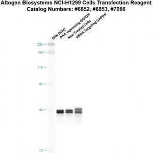NCI-H1299-cells-transfection-protocol