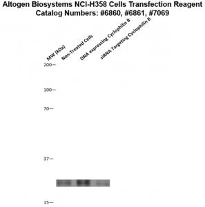 NCI-H358-cells-transfection-protocol