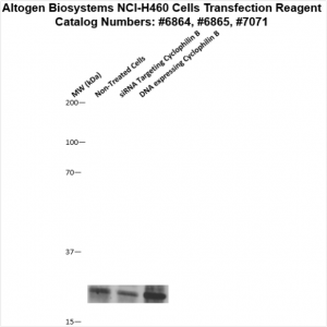 NCI-H460-cells-transfection-protocol