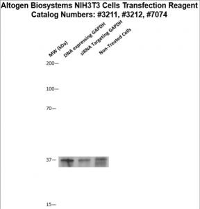 NIH3T3-cells-transfection-protocol