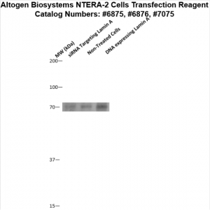 NTERA2-cells-transfection-protocol