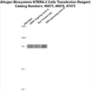 NTERA2-cells-transfection-protocol