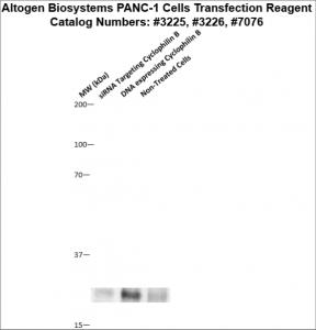 PANC1-cells-transfection-protocol