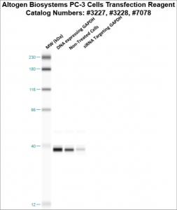 PC3-cells-transfection-protocol