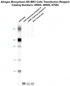SKBR3-cells-transfection-protocol