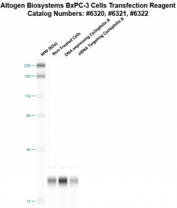 bxpc3-cells-transfection-protocol