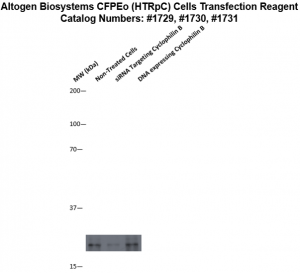 cfpeo-cells-transfection-protocol
